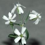 Mokslininkai atgaivino 30 tūkst. metų senumo augalą