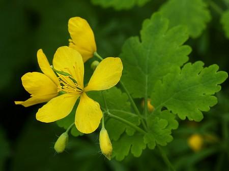 Liaudies medicina: priešnavikiniai augalai