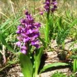 Kuršių nerijoje pražydo pirmosios orchidėjos