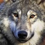 Neleiskime išmedžioti penktadalio Lietuvos vilkų!