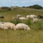 Kuršių nerijoje norima sugrąžinti prieš dešimtmetį ištremtus naminius gyvulius