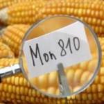 Lenkija uždraudė auginti GM kukurūzus ir bulves