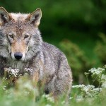 Už vilkų nuodėmes atlygins savivaldybės