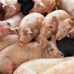 Kiaulių maras iš Baltarusijos