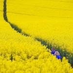 Po klimato išdaigų britų ūkininkai meldžia leisti auginti GMO pasėlius