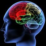 Kuo neįprastesnė smegenų žievė, tuo protingesnis?