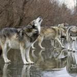 Švelnus ruduo palankus vilkų išpuoliams