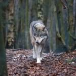 Nušauta pusė iš šiais metais leidžiamų sumedžioti vilkų
