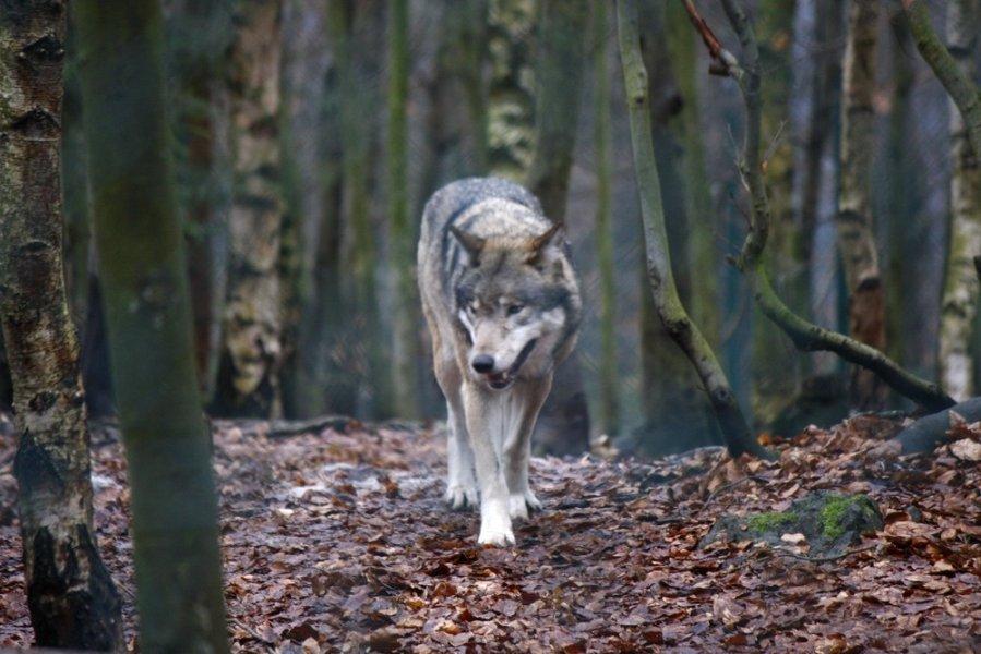 Shutterstock nuotr. / Vilkas