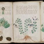 Meksikietiškas augalas gali padėti įminti Voiničiaus rankraščio paslaptį
