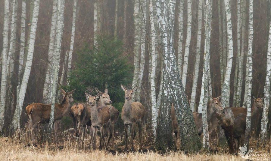 Jono Kazlausko nuotr / Per rūku apgaubtą mišką keliauja taurieji elniai