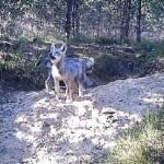 Slapta kamera nufilmuota, kaip vilkiukai tyrinėja pasaulį