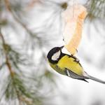 Per šalčius nepamirškime ir paukščių