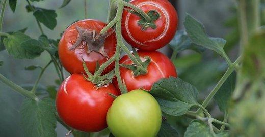 K. Cemnolonskio nuotr. / Mokslininkai kelia sau užduotį vartotojams pateikti sveikesnių daržovių