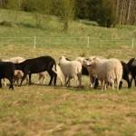 Siekiama išsaugoti seną ir itin retą baltišką avių veislę