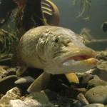 Žuvis senovės lietuvių kasdienybėje ir pasaulėžiūroje