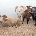 Lietuviai tikisi uždirbti iš avių, kurių pasaulyje – vos 5000