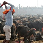 Nepalo hinduistų šventykla atsisako šimtmečius gyvavusios gyvūnų masinio aukojimo tradicijos