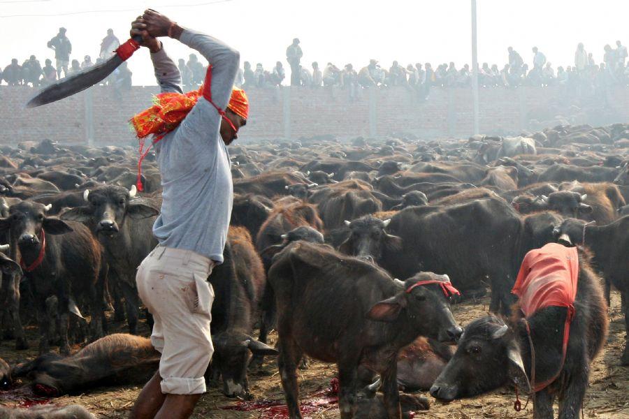 Devota hindu sacrifica búfalos. Foto: Prakash Mathema/ AFP