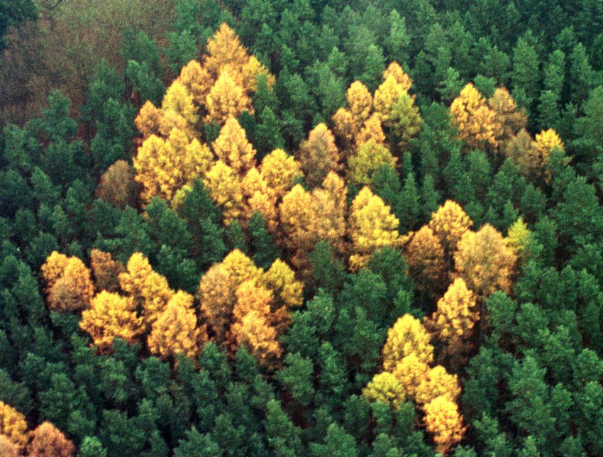 An aerial view shows a giant 60-by-60 metre swastika symbol consisting of larch trees amid a green pine forest near the village of Zernikow 110 km northeast of Berlin November 14, 2000. The swastika, which was forgotten during Soviet-allied East German rule and rediscovered only after German reunification in 1992, was planted in late 1930s by a local merchant during Nazi times. - RTXK5NE