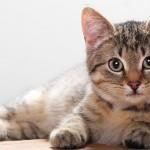 Mokslininkai: katėse gyvenantis parazitas žmonėms gali sukelti šizofreniją