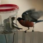Druskininkų valdžia uždraudė lesinti paukščius