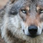 Ilgametis medžiotojas: be intensyvios vilkų medžioklės bus daug problemų