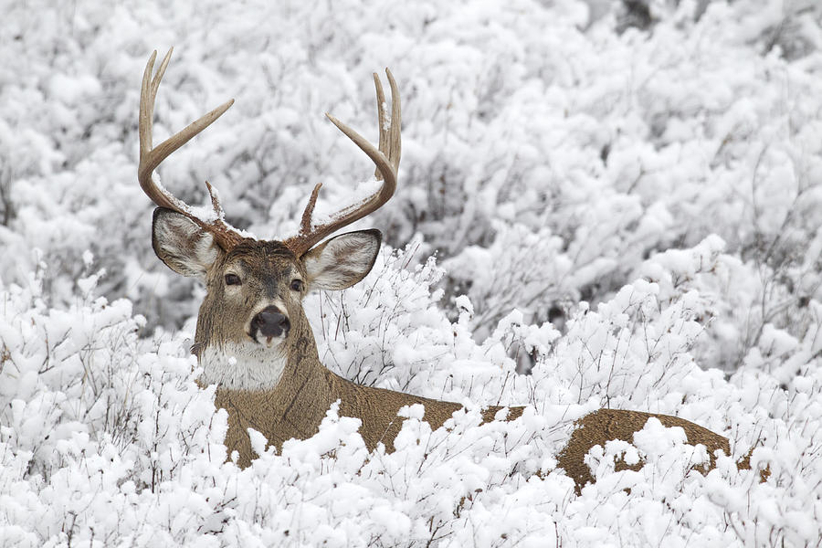 white-tailed-deer-buck-in-winter-donald-m-jones