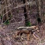 Pajūrio gyventojus baugina iš Antano Boso elnyno pabėgę vilkai