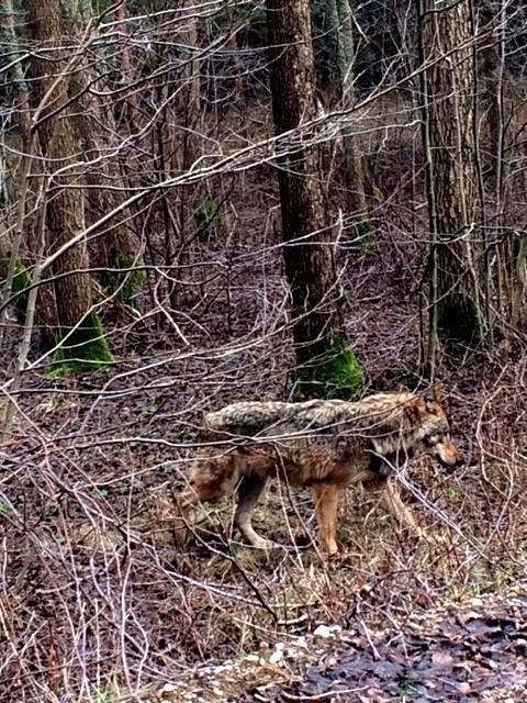 J.Jurelienės nuotr. / Šiomis dienomis Pajūrio regioniniame parke lankytojos užfiksuotas vilkas.