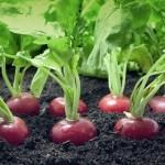 Kur dingo lietuviškos sėklos ir kaip užsiauginti ridikėlius