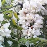 Kuršių nerijoje pražydo klastingo grožio augalai
