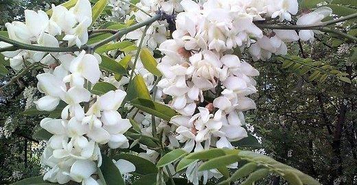 Wikimedia Commons nuotr. / Baltažiedė robinija (Robinia pseudoacacia)