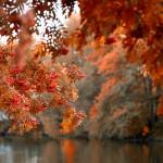 Šermukšnis – lietuvio paguodos medis