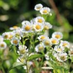 Invaziniai augalai – didžiulė (ne)matoma problema