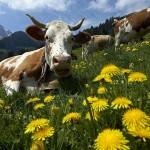 Pasaulio įdomybės: esate veganas ir gyvūnų teisių gynėjas – galite negauti Šveicarijos pilietybės