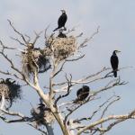 Kas šiemet laukia kormoranų?