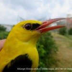 Šiemet Ventės rago ornitologinėje stotyje tikimasi rekordo