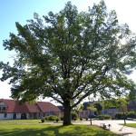 Vienybės ąžuolui gegužės 1dieną sueina 95 metai